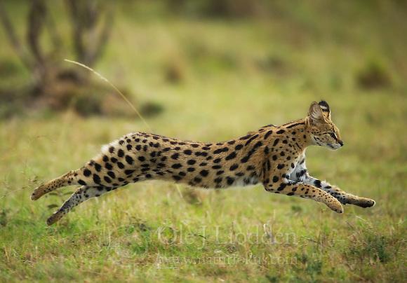 Serval (Caracal serval) in Masai Mara, Kenya (Ole Jørgen Liodden)