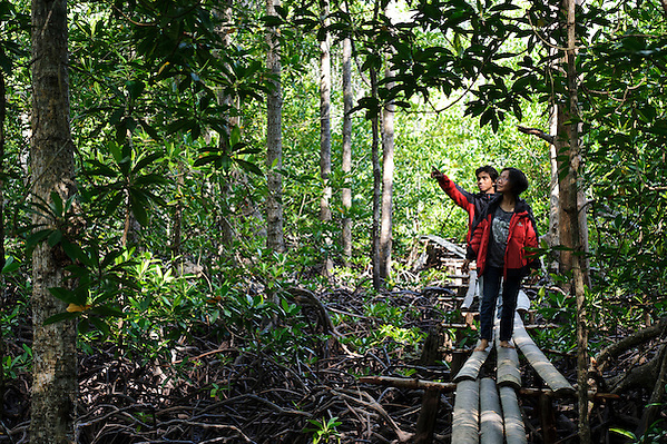 Tourist walking through mangrove area as part of a village-led ecotourism business, Sausu Peore, Central Sulawesi, Sulawesi, Indonesia. (Matthew Oldfield)
