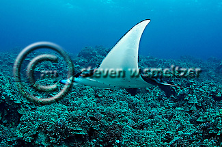Manta Ray on Reef, Manta birostris, (Walbaum, 1792), Kona Hawaii (Steven W Smeltzer)