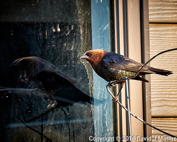 Testosterone Pumped Brown-headed Cowbird and Its Double Reflection in the Early Morning Sun. Image taken with a Fuji X-T1 camera and 100-400 mm OIS lens (ISO 200, 400 mm, f/5.6, 1/56 sec). (David J Mathre)