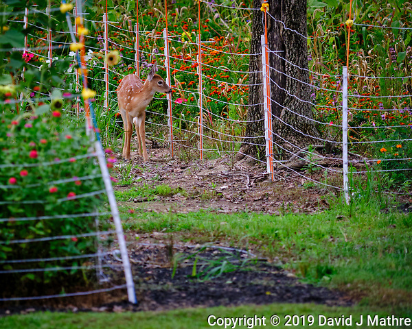 Fawn checking out the electric fence and the flowers behind. Image taken with a Fuji X-T3 camera and 200 mm f/2 OIS lens (ISO 320, 200 mm, f/2, 1/850 sec). (DAVID J MATHRE)