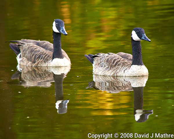 Canada Geese in the Pond. Image taken with a Nikon D300 camera and 80-400 VR lens (ISO 400, 400 mm, f/8, 1/50 sec). (David J Mathre)