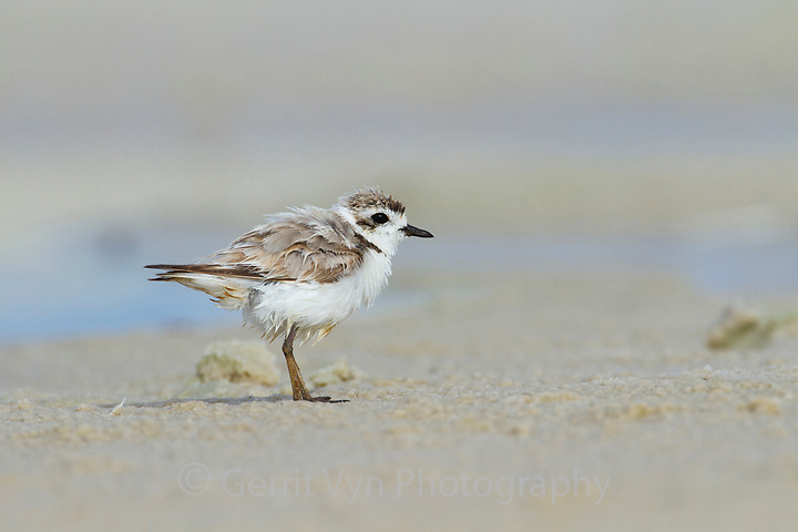 Heavily oiled adult Snowy Plover (Charadrius alexandrinus). This bird was oiled by the BP Deepwater Horizon oil leak. Bon Secour National Wildlife Refuge. Baldwin County, Alabama. June. (Gerrit Vyn)