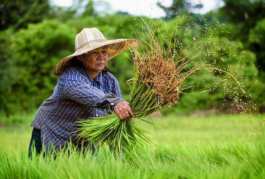 Siri, a 65 year old Thai woman farmer, works in her leased fields preparing rice plants to be transplanted into a larger field, in Nakhon Nayok ‪Thailand‬ Aug 14, 2016. PHOTO BY LEE CRAKER (Lee Craker, Lee Craker/Lee Craker)