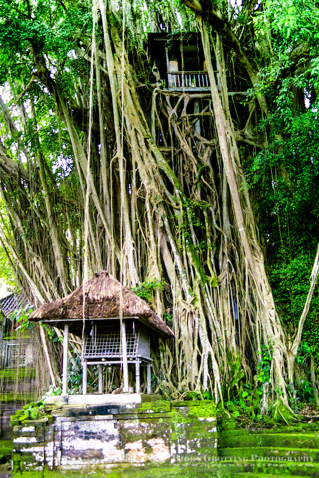 Bali, Bangli, Pura Kehen. A huge Banyan tree in Pura Kehen, an important temple from the 13th century. (Photo Bjorn Grotting)