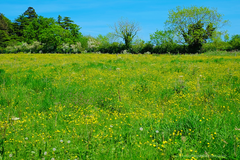 A field overgrown with wild flowers (Thomas Fitzgerald)