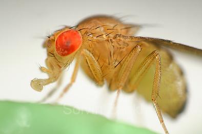 Wild Fruit Fly (Drosophila melanogaster) | Um die Taufliege (Drosophila melanogaster) zu sehen, muss man nicht nach Wien ins Labor fahren - hat man im Sommer eine überreife Banane oder Ähnliches in der Küche, ist sie, unter dem Namen Fruchtfliege bekannt, stets zur Stelle, um Nahrhaftes mit ihrem ausklappbaren Leckrüssel aufzunehmen. Aber wer würde, während er fluchend die Plage bekämpft, eine solche Schönheit und Perfektion im Detail vermuten... wild lebendes Exemplar (keine Laborfliege) (Solvin Zankl)