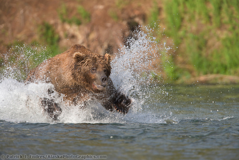 Brown bear lunge feeding for red salmon in the Brooks River, Katmai National Park, Alaska Ⓒ Patrick J. Endres / AlaskaPhotoGraphics.com