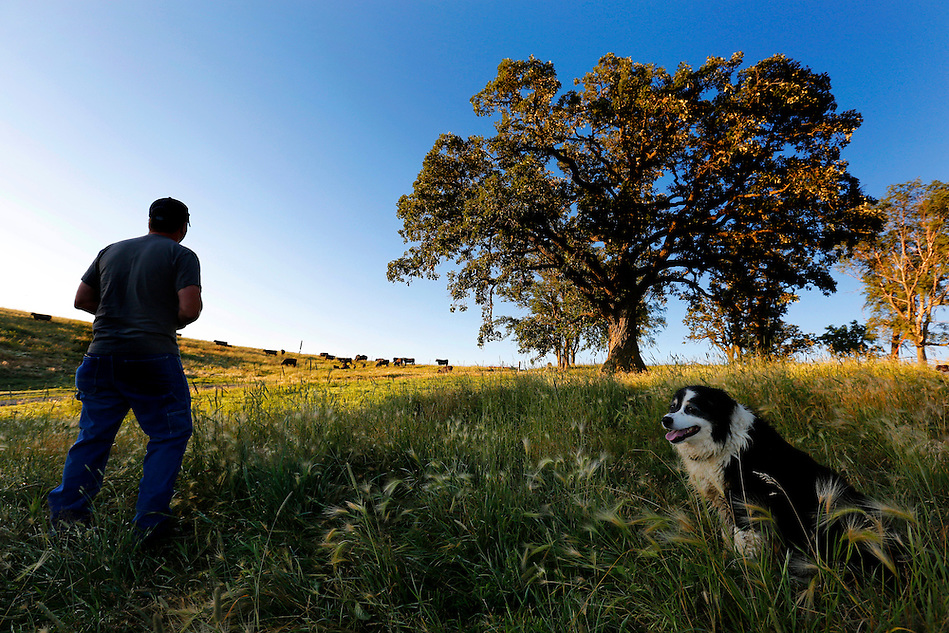 Joined by his dog, Blaze, Justin Dammann pauses to survey a pasture while tending to one of his cattle herds the morning of July 3, 2014 on his rural Page County farm. (Christopher Gannon/The Register)