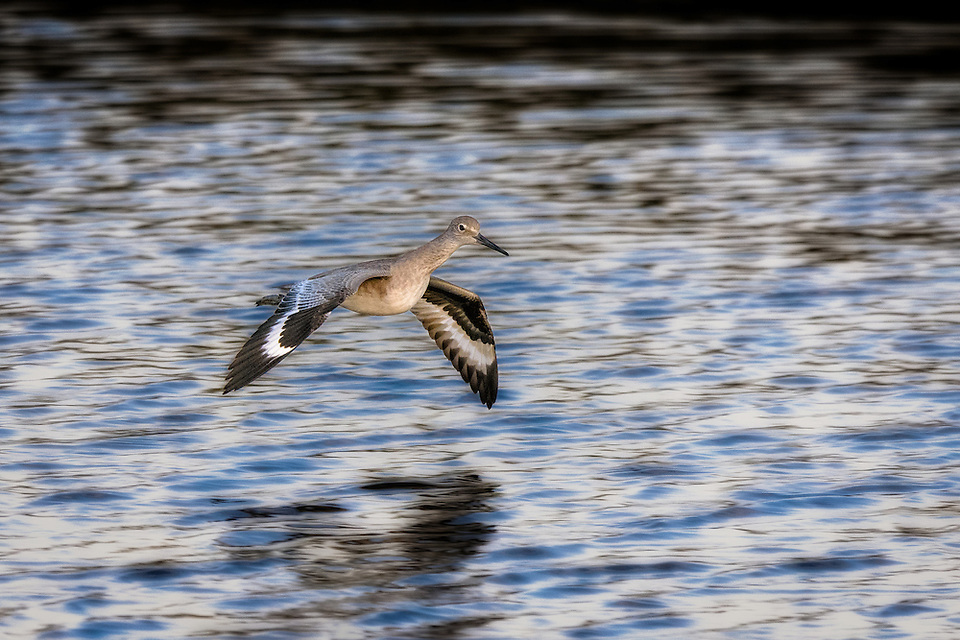 Willet flying over San Elijo Lagoon in Encinitas, California (Doug Oglesby)
