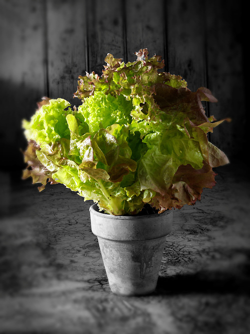 Lollo Rosso & Lollo Baindo living Lettuce (Paul)