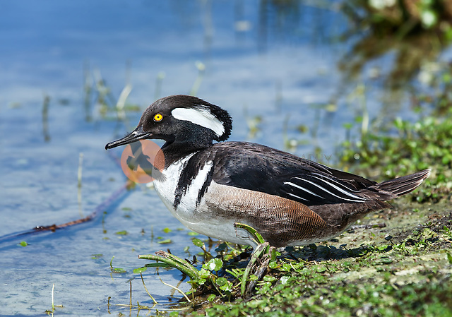 Male Hooded Merganser with crest lowered, sitting on shore of pond (sandra calderbank)