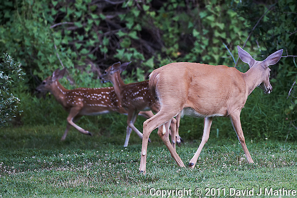 Doe Moving Fawns. Outdoor Nature in New Jersey. Image taken with a Nikon D3s and 500 mm f/4 VR lens (ISO 1600, 500 mm, f/4, 1/400 sec). Image processed with Capture One Pro 6, Nik Define, and Photoshop CS5. (David J Mathre)