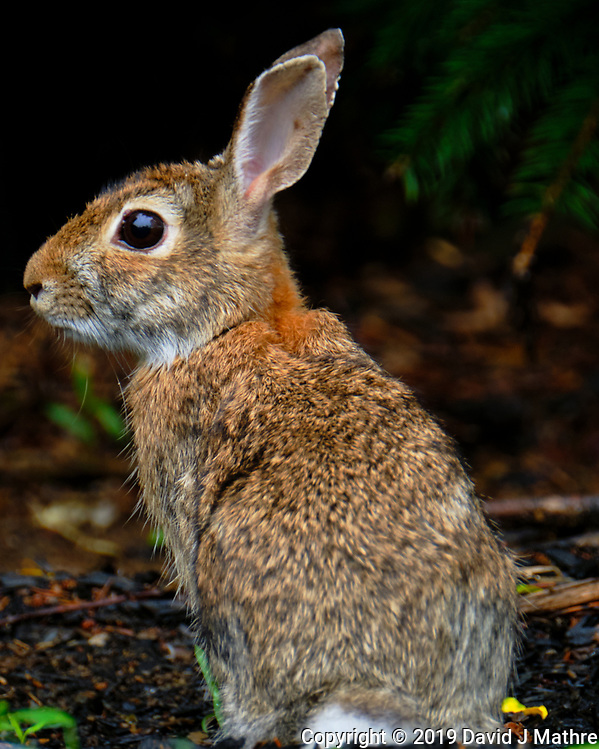 Bunny Rabbit Portrait. Image taken with a Fuji X-T2 camera and 100-400 mm OIS lens (David J Mathre)