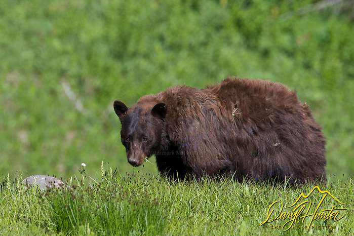 A shaggy forlorn looking cinnamon Black Bear in Yellowstone National Park