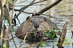 "Beaver having a bit of dinner in Grand Teton National Park (Daryl Hunter's ""The Hole Picture""/Daryl L. Hunter)"