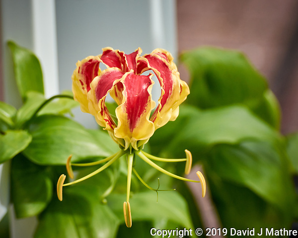 Flame Lily Flower. Image taken with a Nikon 1 V3 camera and 70-300 mm VR lens (ISO 200, 124 mm, f/5, 1/640 sec). (DAVID J MATHRE)
