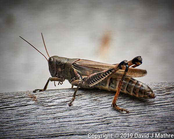 Spur-throated Grasshopper. Image taken with a Nikon 1 V3 camera and 70-300 mm VR lens (ISO 400, 300 mm, f/5.6, 1/500 sec). (DAVID J MATHRE)