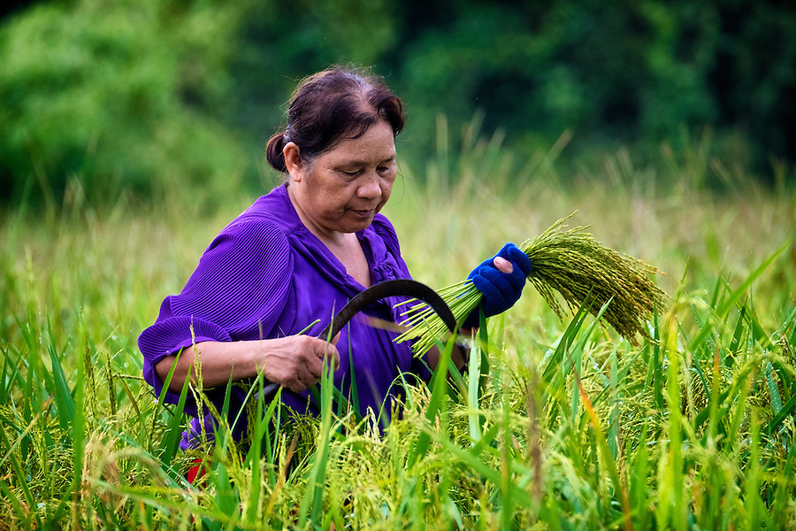The Early Rice Harvest in Nakhon Nayok, Thailand. PHOTO BY LEE CRAKER (Lee Craker)