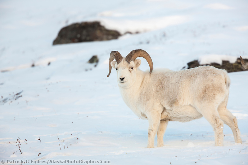 Dall sheep ram in the snow along the Brooks range mountains in Atigun canyon. (Patrick J. Endres / AlaskaPhotoGraphics.com)