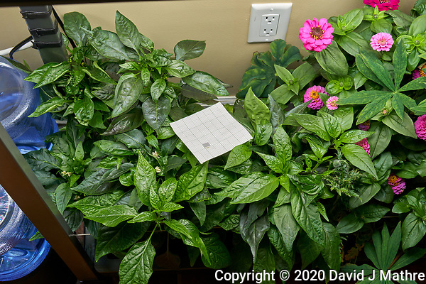 AeroGarden Farm 03, Left. Pepper Plants (143 days). Image taken with a Leica TL-2 camera and 35 mm f/1.4 lens (ISO 250, 35 mm, f/8, 1/30 sec). (DAVID J MATHRE)