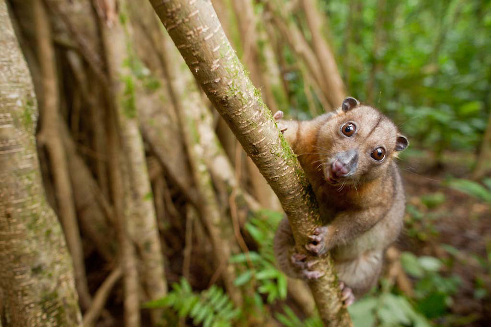 Common Spotted Cuscus, Spilocuscus maculatus, on butress roots on Tetapare (Robin Moore)