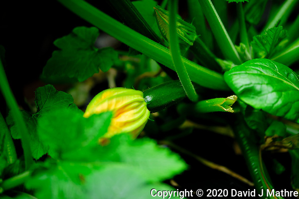 AeroGarden Farm 05-Right. Small Zucchini Image taken with a Fuji X-T3 camera and 80 mm f/2.8 macro lens (ISO 160, 80 mm, f/2.8, 1/125 sec). (DAVID J MATHRE)