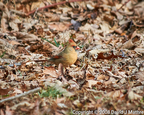 Female Northern Cardinal feeding on the ground. Image taken with a Nikon D300 camera and 80-400 mm VR lens (ISO 200, 400 mm, f/5.6, 1/320 sec). (David J Mathre)