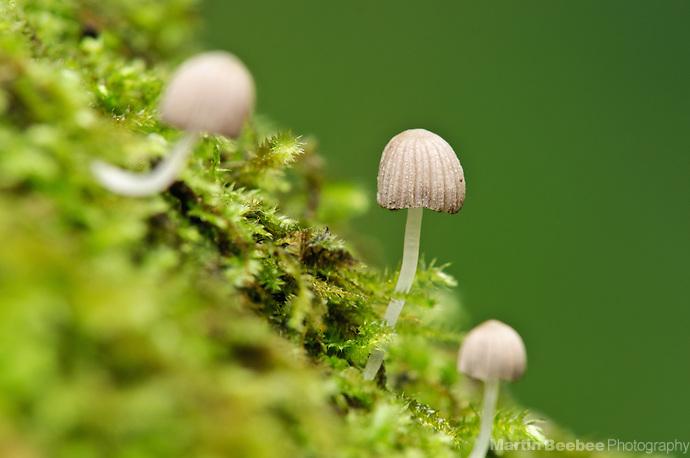 Small mushrooms growing on a mossy log, Lihue-Koloa Forest Reserve, Kauai, Hawaii (Martin Beebee Photography)