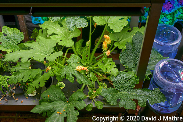 AeroGarden Farm 05-Right. Zucchini Plants (58 days). Image taken with a Leica TL-2 camera and 35 mm f/1.4 lens (ISO 500, 35 mm, f/8, 1/50 sec). (DAVID J MATHRE)