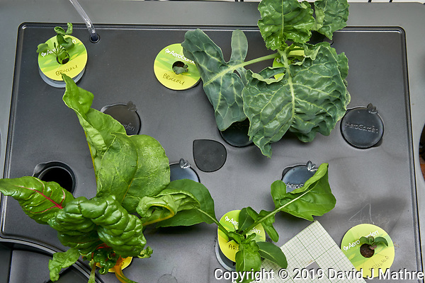 AeroGarden Farm 03 Left Tray at 28 days. L01-L03 Broccoli; L10 Swiss Chard; L11-12 Arugula. Image taken with a Leica TL-2 camera and 35 mm f/1.4 lens (ISO 800, 35 mm, f/16, 1/25 sec). After Swiss Chard partial harvest. (DAVID J MATHRE)