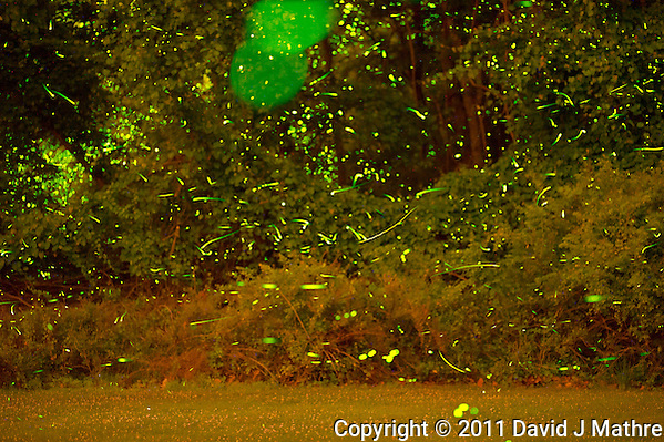 Backyard Fireflies. Early Summer in New Jersey. Image taken with a Nikon D3s and 200 mm f/2 lens (ISO 6400, 200 mm, f/2, 25 sec). Images processed with Lightroom 3, Startrails (used to stack 100 images), and Photoshop CS5. (David J Mathre)