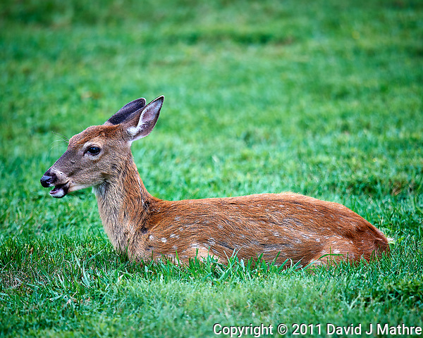 Fawn with spots resting while munching on grass. Image take with a Nikon D3x camera and 600 mm f/4 VR lens (ISO 160, 600 mm, f/4, 1/100 sec). (David J Mathre)