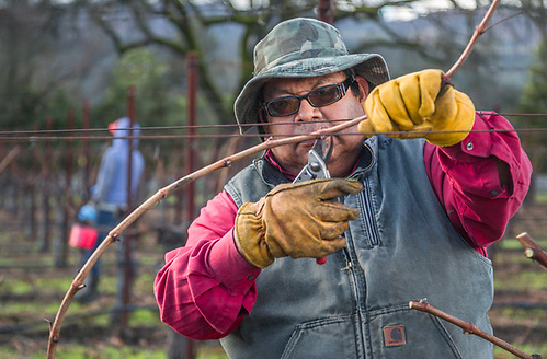 Vineyard worker Lias makes use of his long aquired skills while pruning vines in Saint Helena. (Clark James Mishler)