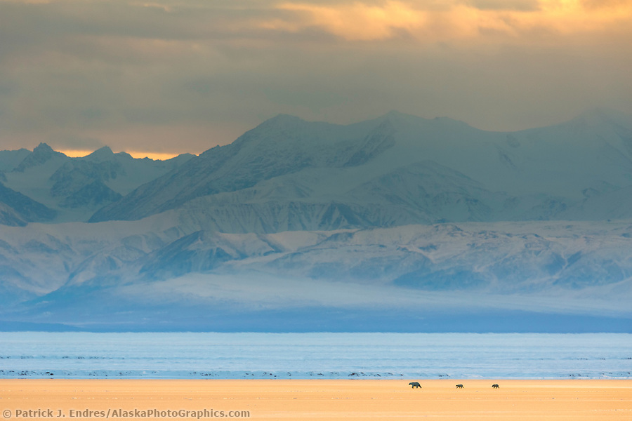 Bears on sea ice in the Beaufort Sea, Romanzof Mountains of the Brooks Range in the distance. Arctic National Wildlife Refuge, Alaska. (Patrick J Endres / AlaskaPhotoGraphics.com)
