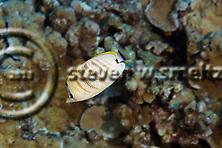 Multiband Butterflyfish, Chaetodon multicinctus, Garrett, 1863, Maui Hawaii (Steven W SMeltzer)