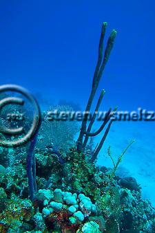 Row Pore Rope Sponge, Aplysina cauliformis, Grand Cayman (Steven Smeltzer)
