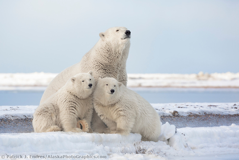 Polar bear sow and cub sit at the water's edge on a barrier island in the Beaufort Sea, Arctic National Wildlife Refuge, Alaska. (Patrick J Endres / AlaskaPhotoGraphics.com)