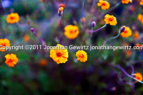 A burst of orange wildflowers in a garden. (Copyright 2011 Jonathan Gewirtz jonathan@gewirtz.net)