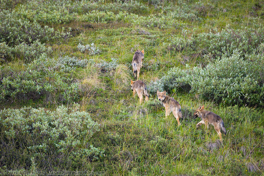 Gray wolf cubs travel the tundra of Denali National park, Interior, Alaska. (Patrick J. Endres / AlaskaPhotoGraphics.com)
