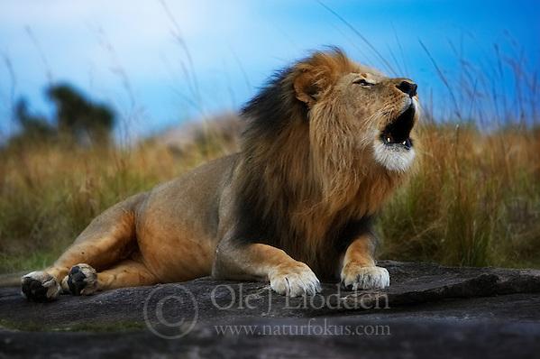 Roaring Lion (Panthera Leo) in Masai Mara, Kenya (Ole Jørgen Liodden)