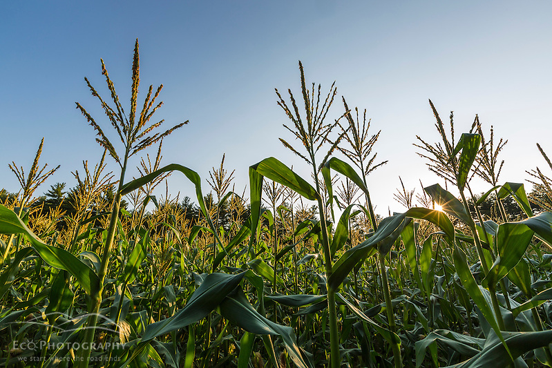 A field of sweet corn on a farm in Epping, New Hampshire. (Jerry and Marcy Monkman)