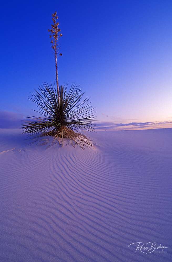 Yucca and dune patterns at dusk, White Sands National Monument, New Mexico