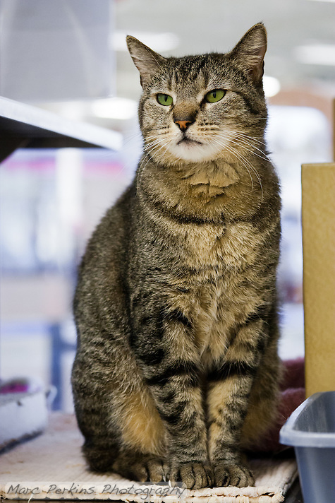 Trista, a three year old female short-haired brown tabby cat with green eyes (and a white chin), standing proud.  Trista has a face that looks somewhat like a mountain lion to me; a bit more elongated than your typical domesticated cat.  Trista is up for adoption at Miss Kitty's Rescue in Costa Mesa, CA.  This picture was taken pro bono for Miss Kitty's Rescue to help them advertise the cats for adoption. (Marc C. Perkins)