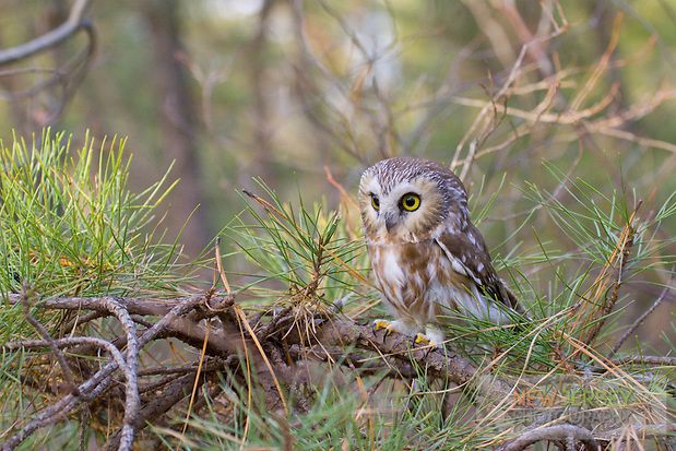 Saw-whet Owl, in pitch pine forest.  Pine Barrens, New Jersey (unknown)