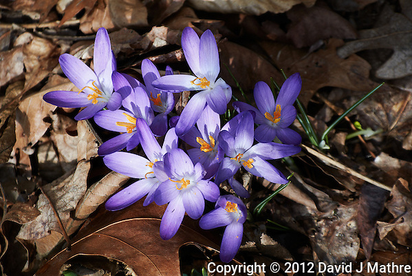 Early Purple Crocuses -- Spring is Coming. Image taken with a Nikon 1 V1 and 10-100 mm lens (ISO 100, 58 mm, f/5.6, 1/320 sec). (David J Mathre)
