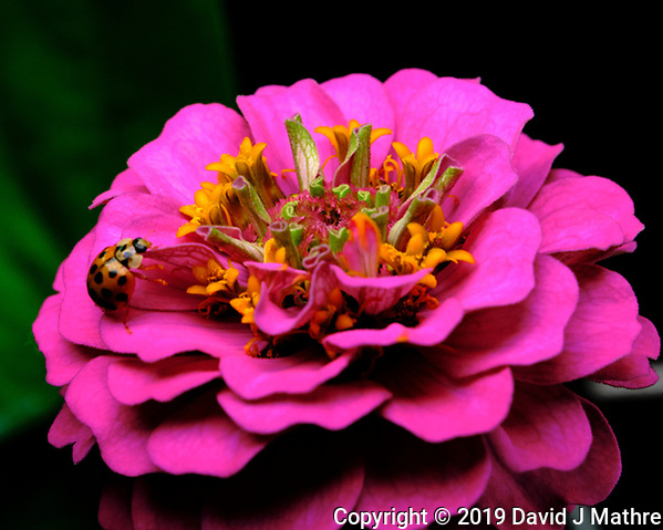 Asian Lady Beetle on a Pink Zinnia Flower. Image taken with a Fuji X-T3 camera and 80 mm f/2.8 macro lens (ISO 160, 80 mm, f/11, 1/250 sec). (DAVID J MATHRE)