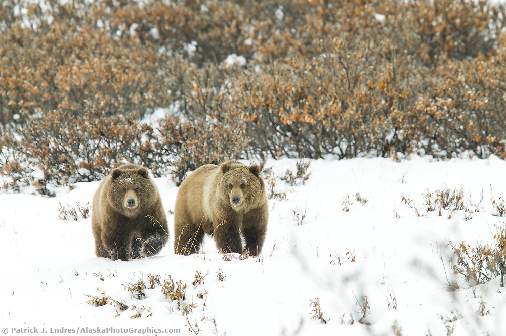 Two grizzly bears walk across the fresh winter snow in Atigun Canyon, Brooks Range, Alaska (Patrick J. Endres / AlaskaPhotoGraphics.com)