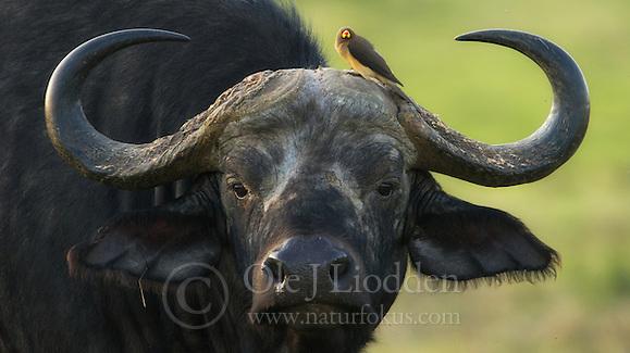 African Buffalo (Syncerus caffer) in Masai Mara, Kenya (Ole Jørgen Liodden)