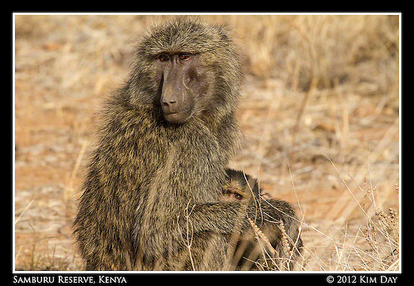 Momma And Baby Baboon.Samburu Game Reserve, Kenya.September 2012 (Kim Day)